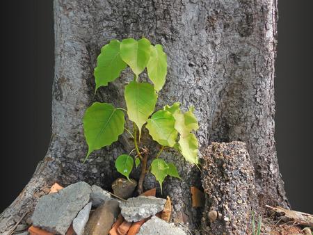 peepal tree: Small bodhi tree under the large tree