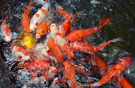 Diverse group of Japanese Koi swim Stock Photo