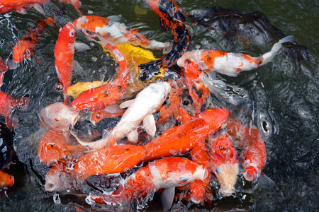 japanese koi: Diverse group of Japanese Koi swim Stock Photo