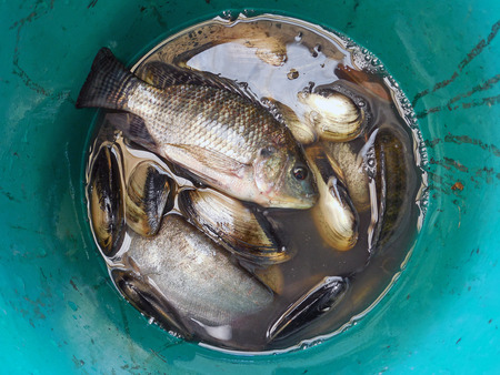 silver perch: fresh fish and clam in the can plastic Stock Photo