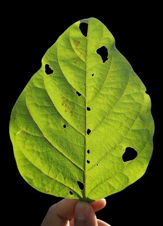 backlit: Backlit leaves on black background