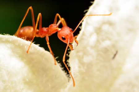 Close up red fire ant