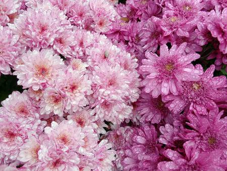 geranium color: pink flowers background