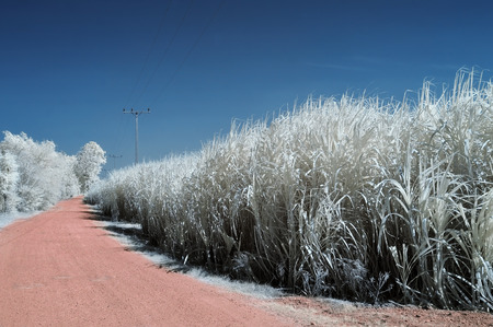 infrared: Dirt road near the cane fields, taken in Near Infrared Stock Photo