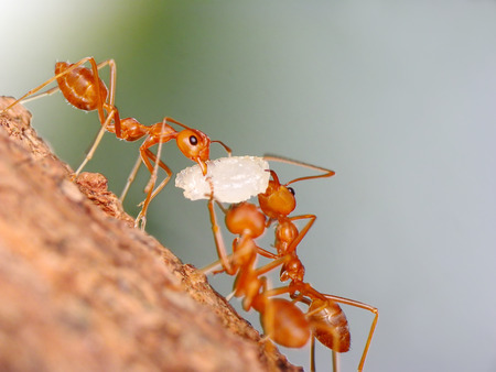 Ants carrying grains