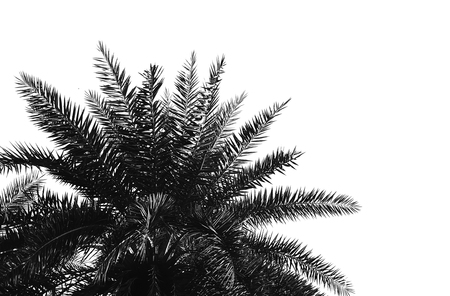 date palm: beautiful date palm leaf on white background