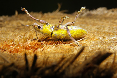 golddust: Green weevil or Gold-dust weevil