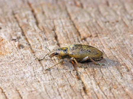 weevils: Green weevil or Gold-dust weevil