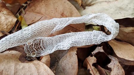 Snake slough on dry leaf