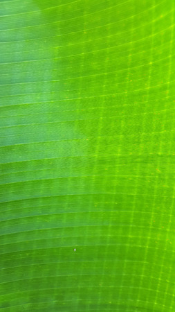 closeup a banana leaf texture