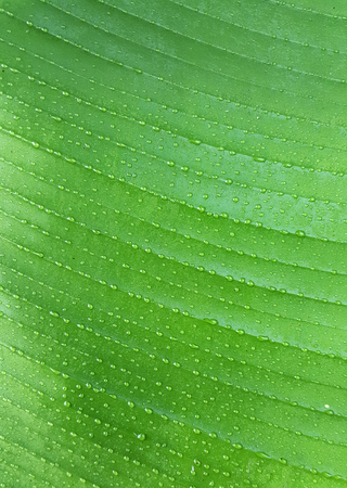 close up dew on green leaf texture