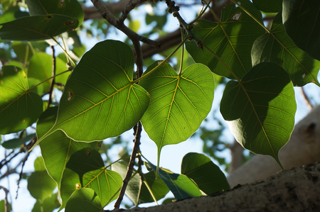 bo: light and shadow of bo leaf