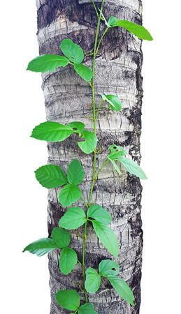 ivy on the coconut tree on white background Stock Photo