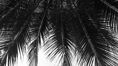 Silhouette of beautiful coconut leaf Stock Photo