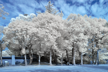 Outdoor trees in the daytime, taken in Near Infrared