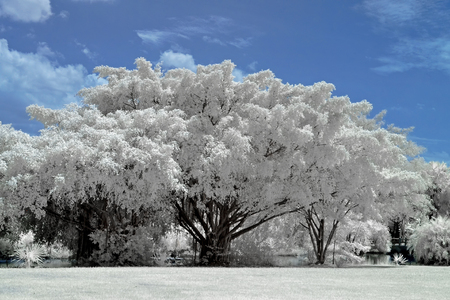 Outdoor trees in the public park , taken in Near Infrared