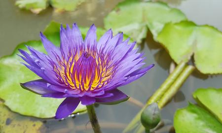 Lotus flower in pond