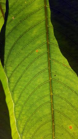 light & shadow of mango leaf texture 写真素材