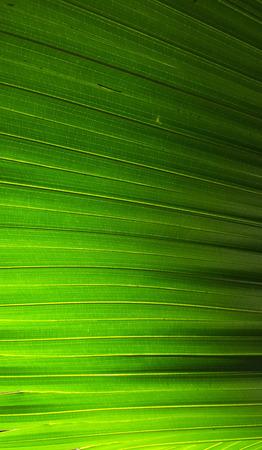 light & shadow of sugar palm leaves texture