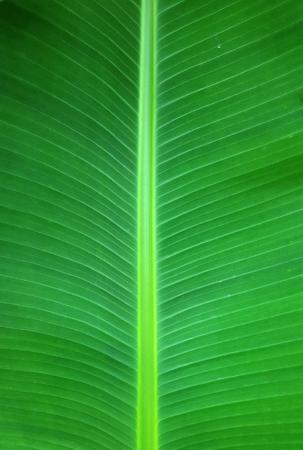 close up banana leaf texture