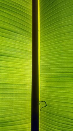 close up banana leaves texture 写真素材