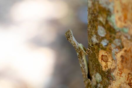Flying brown chameleon on the tree in Thailand.