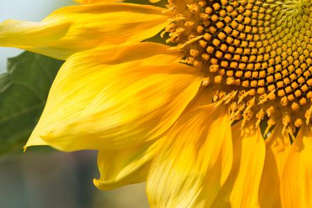 girasol: Fondo del girasol natural. Girasol en flor.