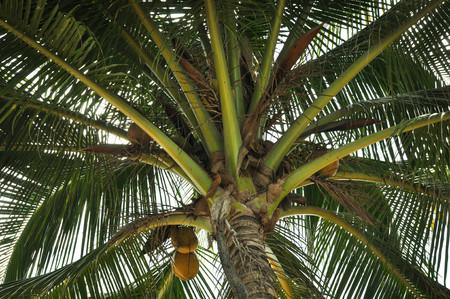 edibles: yellow coconut at tree