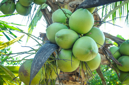 nurseries: Coconut