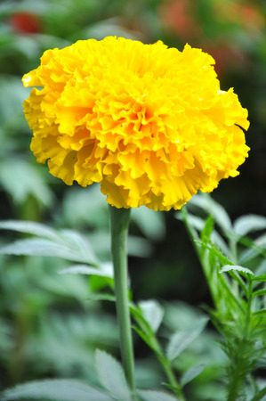 agricultural essence: marigold flower Stock Photo
