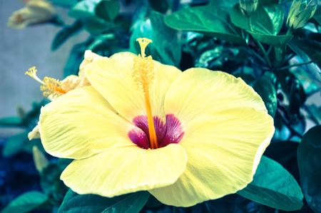 agricultural essence: hibiscus flower