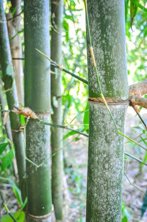 nurseries: Bamboo