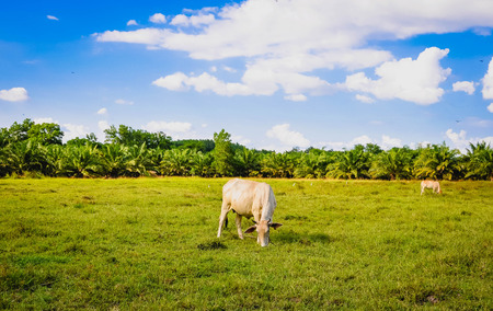 agricultural essence: Cow on a summer pasture Stock Photo