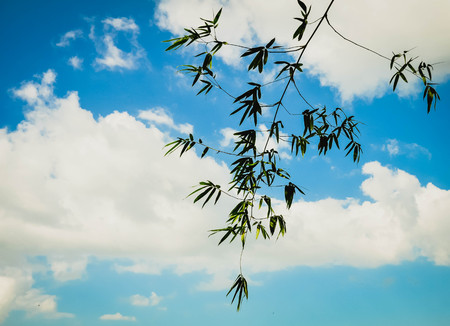 antecedents: Bamboo leaves on a sky background.