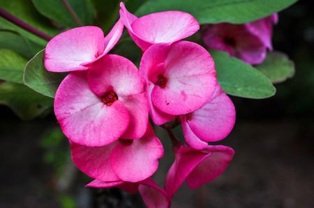 nurseries: Poi sian flowers
