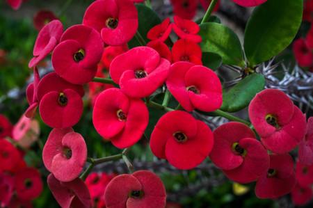 yard stick: Poi sian flowers