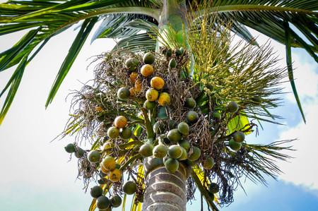 innate: betel nut or areca nut