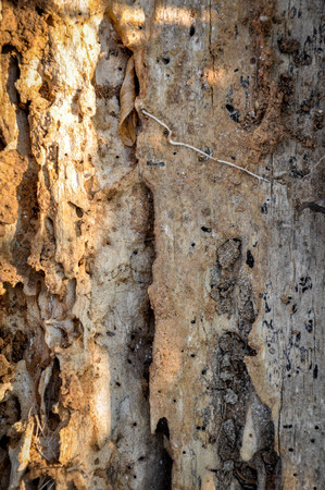 dialectic: Tree damaged by termites