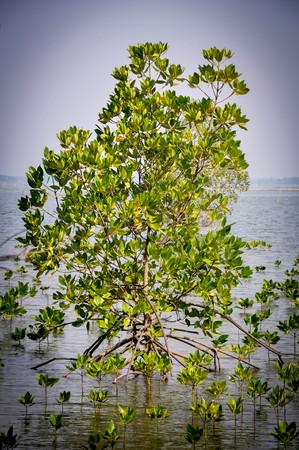 mangrove: Mangrove Tree