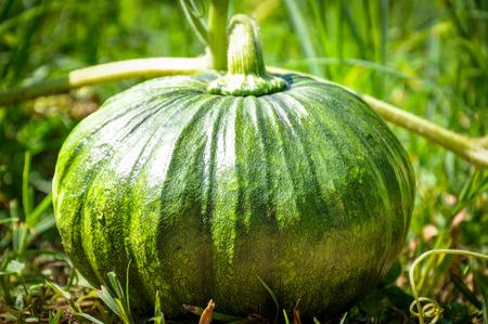 agricultural essence: Green pumpkin grown in the garden