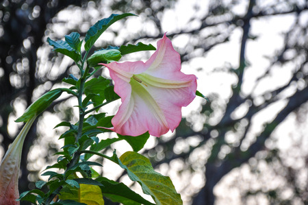 Pink datura angles trumpet flower