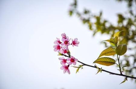 Pink cherry blossom springtime