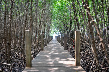 The wooden bridge in the mangroves