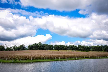 Corn dead field landscape Stock Photo