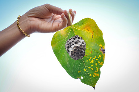 Woman's hand holding a leaf nest of insects Stock Photo - 93404899