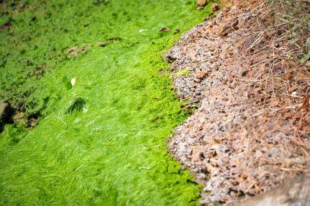 Algae in ponds where shrimp Stock Photo - 134665371