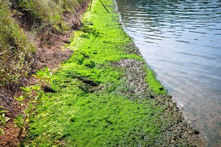 Algae in ponds where shrimp Stock Photo