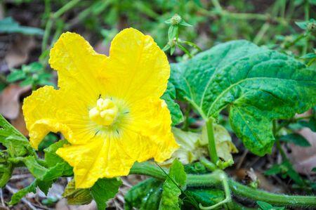 Luffa cylindrica flower Stock Photo