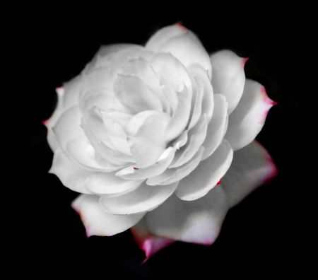 black and pink: Flor de blanco y negro
