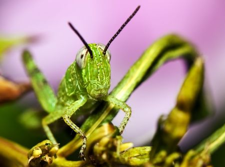 hairy legs: Close up of a small green grasshopper, with pink flowers blurred in the background.